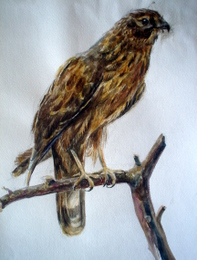 drawing, watercolor, Falcon, Falcon, branch, bird claws