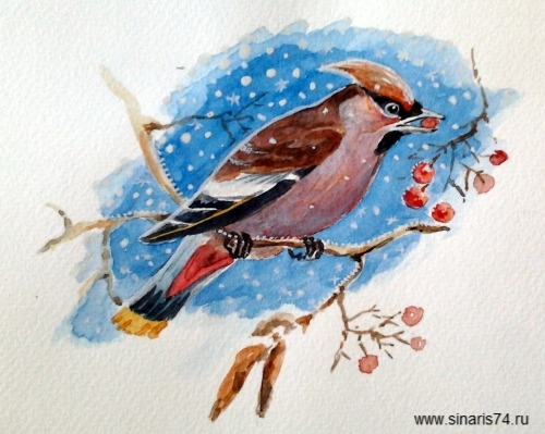 drawing, watercolor, Waxwing, bird, twig and berries