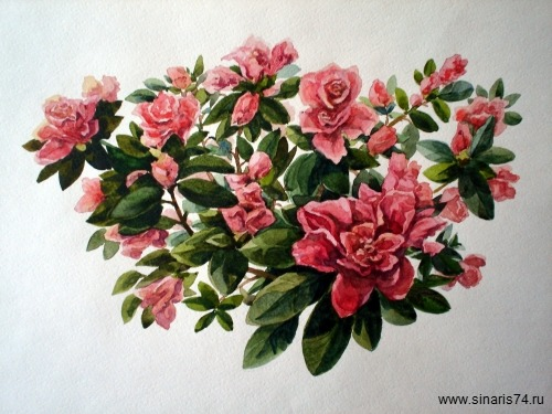 drawing, watercolor, Azalea, Rhododendron, bouquet, flowers, leaves