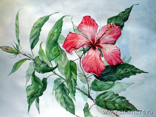 drawing, watercolor, Hibiscus, branch, greens, red flower