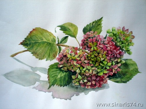 drawing, watercolor, Hydrangea, branches, leaves