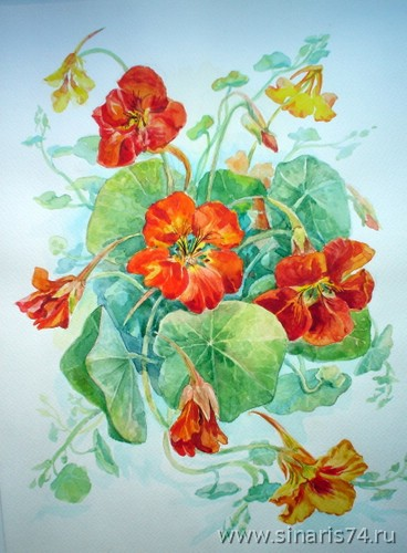 drawing, watercolor, Nasturtiums, flowers, leaves