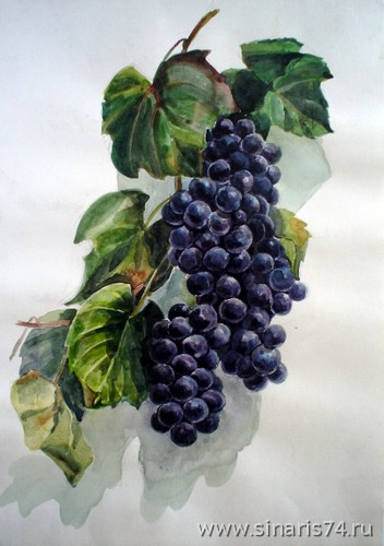 drawing, watercolor, Bunch of grapes, Bunch of black grapes
