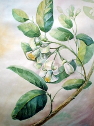 drawing, watercolor, Lemon flower, branch, leaves, white flowers